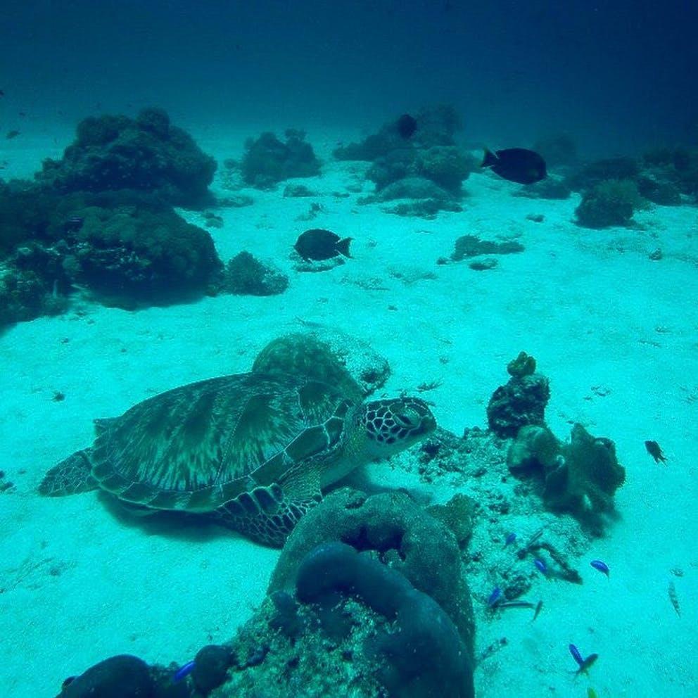Turte at reef near Bara Beach
